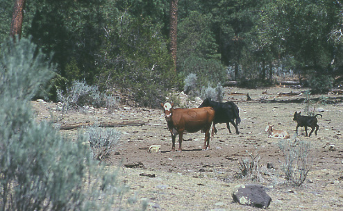 photo of cattle in a forest
